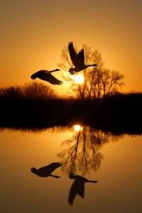 4-swans